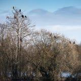 Группа в составе птицы shag баклана roosting в дереве зимы Стоковая Фотография RF
