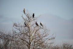 Группа в составе птицы shag баклана roosting в дереве зимы Стоковое фото RF