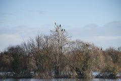 Группа в составе птицы shag баклана roosting в дереве зимы Стоковые Фотографии RF