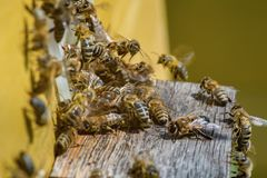 Группа в составе пчелы, летая и собирая совместно около входа o Стоковое Фото