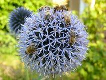 Группа в составе пчелы опыляя круглый голубой цветок Стоковая Фотография