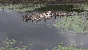 Группа в составе плавать уток видеоматериал