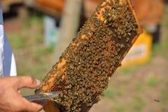 Группа в составе работая пчелы на деревянной рамке Стоковое Изображение