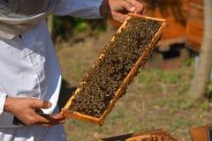 Группа в составе работая пчелы на рамке Стоковые Фото