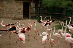 Группа в составе розовые фламинго бежать вокруг Стоковая Фотография RF