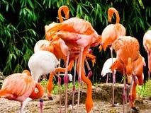 Группа в составе розовые фламинго на парке дикого животного Шанхая Стоковые Изображения RF