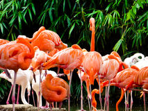 Группа в составе розовые фламинго на парке дикого животного Шанхая Стоковая Фотография
