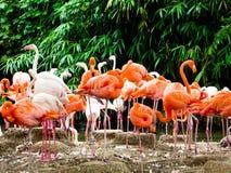 Группа в составе розовые фламинго на парке дикого животного Шанхая Стоковое Изображение