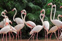 Группа в составе розовые фламинго Стоковая Фотография RF