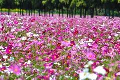 Группа в составе розовый космос цветка в landsc природы сада настолько красивом Стоковая Фотография RF