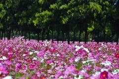 Группа в составе розовый космос цветка в landsc природы сада настолько красивом Стоковые Изображения RF