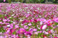Группа в составе розовый космос цветка в landsc природы сада настолько красивом Стоковое фото RF