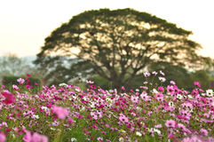 Группа в составе розовый космос цветка в landsc природы сада настолько красивом Стоковые Фото