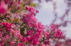 Группа в составе розовый Frangipani Стоковые Изображения