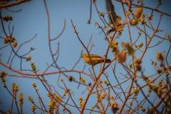 Группа в составе Розов-necked зеленые птицы голубя (vernans Treron) в Стоковые Фотографии RF
