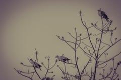 Группа в составе Розов-necked зеленые птицы голубя (vernans Treron) в Стоковые Изображения RF