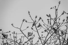 Группа в составе Розов-necked зеленые птицы голубя (vernans Treron) в Стоковое Фото
