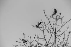Группа в составе Розов-necked зеленые птицы голубя (vernans Treron) в Стоковая Фотография RF