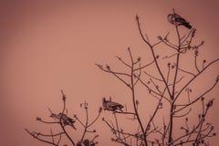 Группа в составе Розов-necked зеленые птицы голубя (vernans Treron) в Стоковые Фото