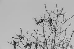 Группа в составе Розов-necked зеленые птицы голубя (vernans Treron) в Стоковое Изображение
