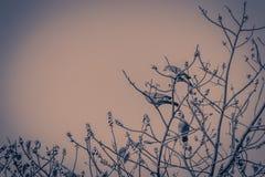 Группа в составе Розов-necked зеленые птицы голубя (vernans Treron) в Стоковые Изображения