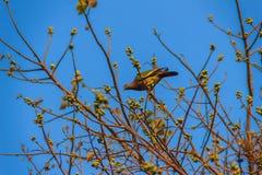 Группа в составе Розов-necked зеленые птицы голубя (vernans Treron) в Стоковая Фотография