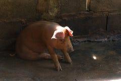Группа в составе свинья спать есть в ферме Стоковые Фотографии RF