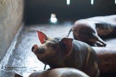 Группа в составе свинья спать есть в ферме Стоковые Изображения RF