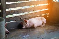 Группа в составе свинья спать есть в ферме Стоковое Фото