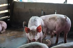 Группа в составе свинья спать есть в ферме Стоковая Фотография