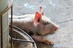 Группа в составе свинья спать есть в ферме Стоковая Фотография RF
