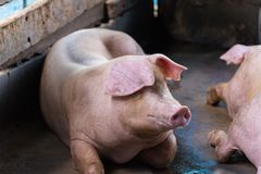 Группа в составе свинья спать есть в ферме Стоковые Изображения
