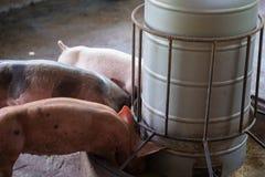 Группа в составе свинья спать есть в ферме Стоковые Фото