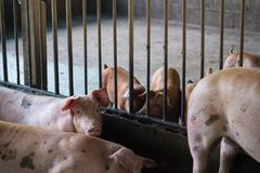 Группа в составе свинья спать есть в ферме Стоковое фото RF