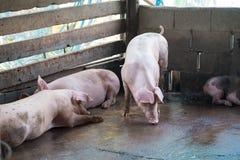 Группа в составе свинья спать есть в ферме Стоковое Изображение