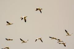 Группа в составе северное Gannets в полете Стоковые Фото