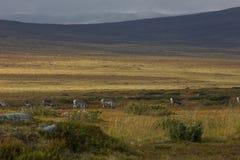 Группа в составе северные олени в Швеции Стоковые Фотографии RF