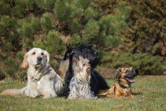 Группа в составе 4 собаки различных пород Стоковое Изображение RF