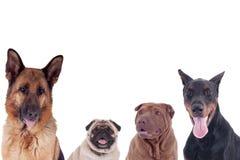 Группа в составе собаки различных breeds Стоковые Фотографии RF