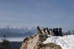 Группа в составе собаки сидя na górze гор Стоковые Изображения RF