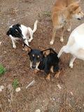 группа в составе собранные собаки Стоковая Фотография RF