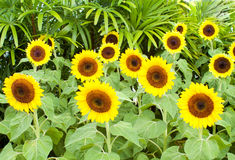 Группа в составе солнцецветы в саде Стоковая Фотография