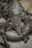 Группа в составе спать крокодила Стоковое фото RF