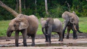 Группа в составе слоны леса в крае леса стоковые изображения