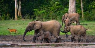 Группа в составе слоны леса в крае леса стоковое фото rf