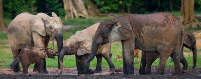 Группа в составе слоны леса в крае леса стоковое изображение