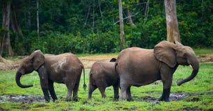 Группа в составе слоны леса в крае леса стоковая фотография