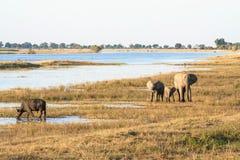 Группа в составе слоны и буйвол в Ботсване Стоковое фото RF