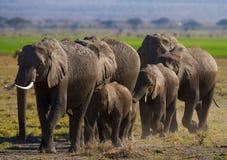 Группа в составе слоны идя на саванну вышесказанного Кения Танзания serengeti Maasai Mara стоковые фотографии rf