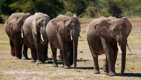 Группа в составе слоны идя на саванну вышесказанного Кения Танзания serengeti Maasai Mara стоковое фото rf